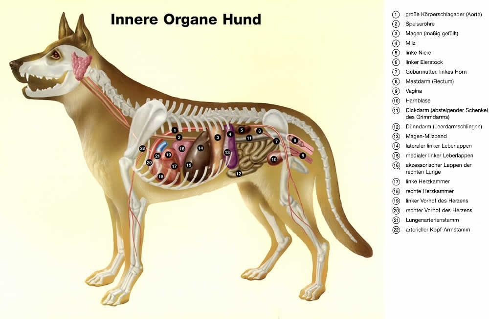 Tolle Hund Bauch Anatomie Ideen - Menschliche Anatomie Bilder ...
